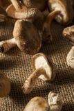 Funghi organici crudi di Shitaki Immagine Stock Libera da Diritti