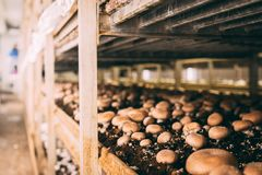 Funghi Portobello e fabbrica dei funghi prataioli fotografia stock