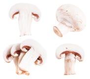 Funghi prataioli Fotografia Stock
