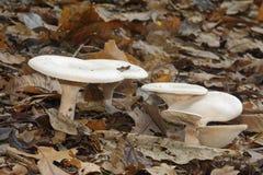 Funghi radunare dell'imbuto fotografie stock