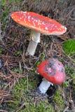 Funghi rossi Fotografia Stock