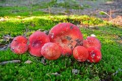 Funghi rossi Immagine Stock