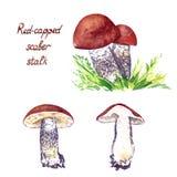 funghi Rosso-ricoperti di aurantiacum del Leccinum del gambo dello scaber messi royalty illustrazione gratis