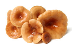 Funghi Rufous di Milkcap (rufus del Lactarius) Fotografia Stock Libera da Diritti
