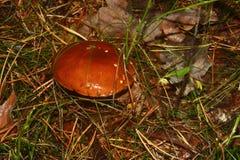 Funghi selvaggi Immagine Stock