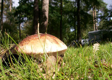 Funghi selvaggi   Immagini Stock Libere da Diritti