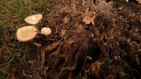 Funghi selvaggi che si sviluppano fra legno stagionato immagine stock libera da diritti