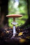 Funghi selvaggi commestibili Immagine Stock Libera da Diritti