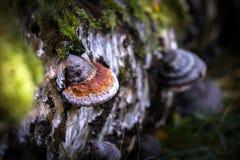 Funghi selvaggi commestibili Fotografia Stock Libera da Diritti