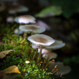 Funghi selvaggi commestibili Immagine Stock