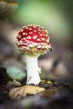 Funghi selvaggi commestibili Fotografia Stock