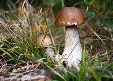 Funghi selvaggi di porcini Fotografie Stock