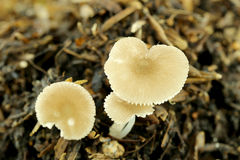 Funghi selvaggi su terra Immagine Stock Libera da Diritti