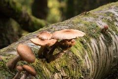 Funghi selvaggi sul tronco di albero Immagini Stock