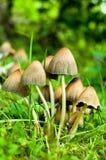 Funghi su erba Immagini Stock Libere da Diritti