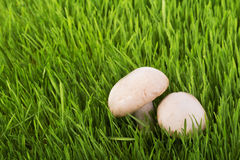 Funghi su erba verde Immagini Stock