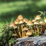 Funghi su erba verde Fotografia Stock Libera da Diritti