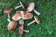 Funghi su erba verde Fotografie Stock Libere da Diritti