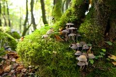 Funghi su muschio Fotografia Stock Libera da Diritti