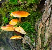 Funghi su un albero Immagini Stock Libere da Diritti