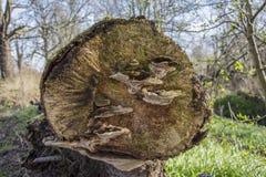 Funghi su un albero caduto Fotografia Stock