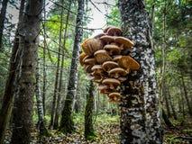 Funghi su un albero di betulla nella foresta russa fotografia stock