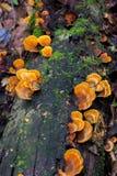 Funghi su un ceppo Immagini Stock Libere da Diritti