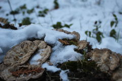 Funghi su un ceppo e su una neve Fotografie Stock