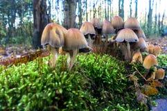 Funghi su un letto di muschio Fotografia Stock Libera da Diritti