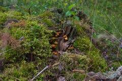 Funghi su un vecchio ceppo di albero immagini stock