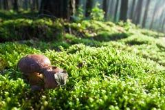 Funghi sul campo muscoso in foresta nebbiosa Immagini Stock