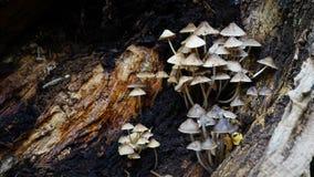 Funghi sul ceppo di decomposizione Fotografia Stock