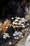 Funghi sul ceppo di decomposizione Immagine Stock Libera da Diritti