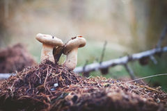 Funghi sul fuoco selettivo al suolo muscoso Immagine Stock Libera da Diritti