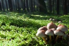 Funghi sul prato verde in foresta nebbiosa Immagini Stock