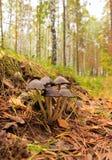 Funghi tossici. immagine stock