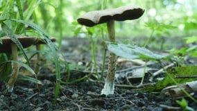 Funghi tossici nel fuoco selettivo della foresta Fotografia Stock