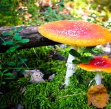 Funghi tossici nella foresta Fotografia Stock