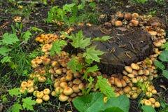 Funghi vicino al vecchio ceppo immagine stock