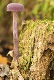 Funghi viola psichedelici del veleno del pericolo nella foresta, (amethystina di Laccaria) Fotografie Stock Libere da Diritti