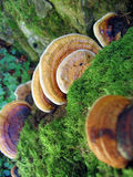 Fungi. Growing on a tree royalty free stock photography