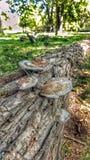 Fungi on bark. Fallen tree growing fungi Royalty Free Stock Photography