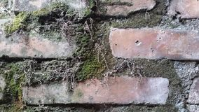 Fungi in bricks. The image shows a section of bricks invaded by fungi which have grown due to the rainwater that has fallen on the wall Stock Images