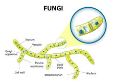 Fungi cell stock illustration