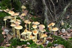 Fungi Collybia maculata Royalty Free Stock Photos