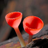 Fungi cup royalty free stock images