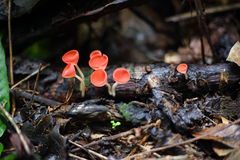 Fungi cup red or Mushroom Champagne Cup Stock Images