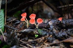 Fungi cup red or Mushroom Champagne Cup Royalty Free Stock Image