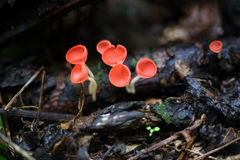 Fungi cup red or Mushroom Champagne Cup Royalty Free Stock Photography
