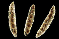 Fungi Fusarium which produce mycotoxins Stock Image